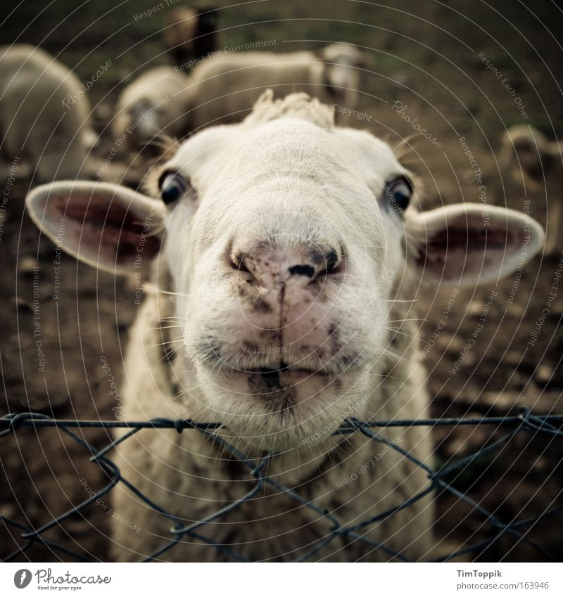 Animal Crazy Happiness Ear Animal face Pelt Curiosity Pasture Sheep Head Interest Herd Farm animal Love of animals