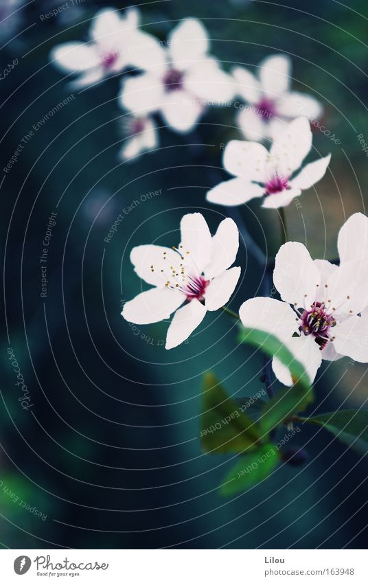 Flower string. Colour photo Exterior shot Close-up Deserted Day Blur Landscape Plant Spring Tree Blossom Blue Green Pink White Blossoming