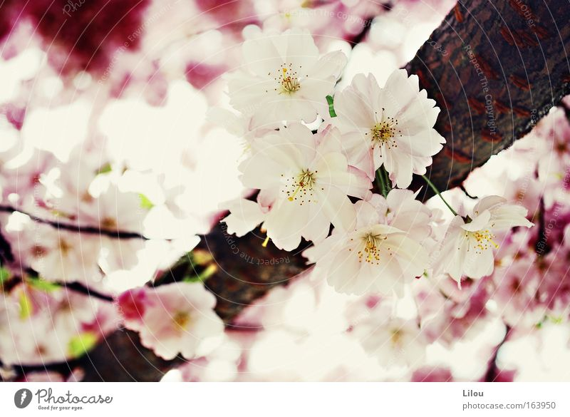 Spring is pink. Colour photo Exterior shot Close-up Deserted Day Blur Nature Plant Tree Blossom Park Blossoming Brown Yellow Pink Red White Branch Twig Wood
