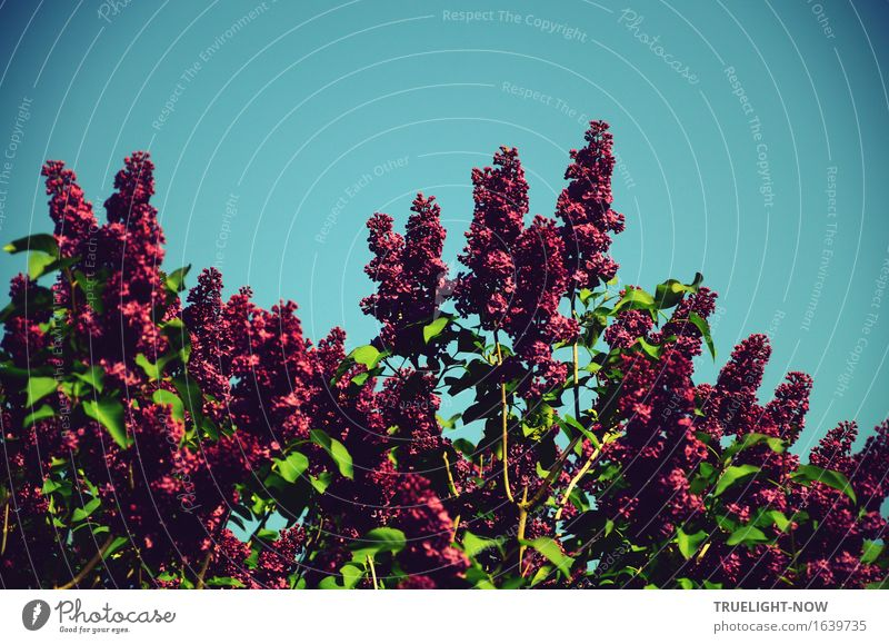 Oh May air and lilac scent ... Nature Plant Sky Cloudless sky Sunlight Spring Climate Beautiful weather Bushes Leaf Blossom Foliage plant Lilac Garden Park