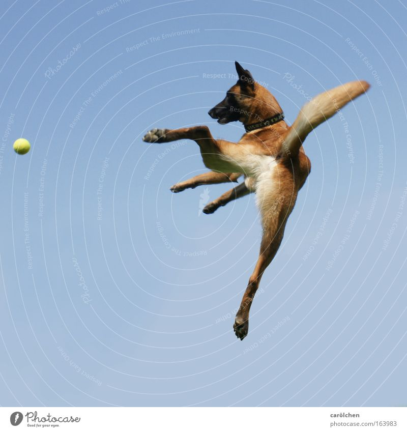 flying dog cash Colour photo Animal portrait Fitness Sports Training Ball sports Sky only Pet Dog Belgian Shepherd Dog Movement Catch Jump Romp Wait Throw