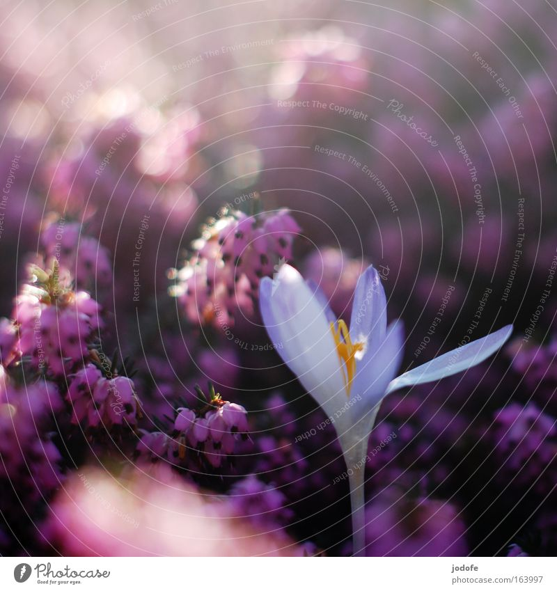 Nature White Plant Blossom Mountain Spring Park Environment Esthetic Communicate Violet Uniqueness Idyll Fragrance Beautiful weather Competition