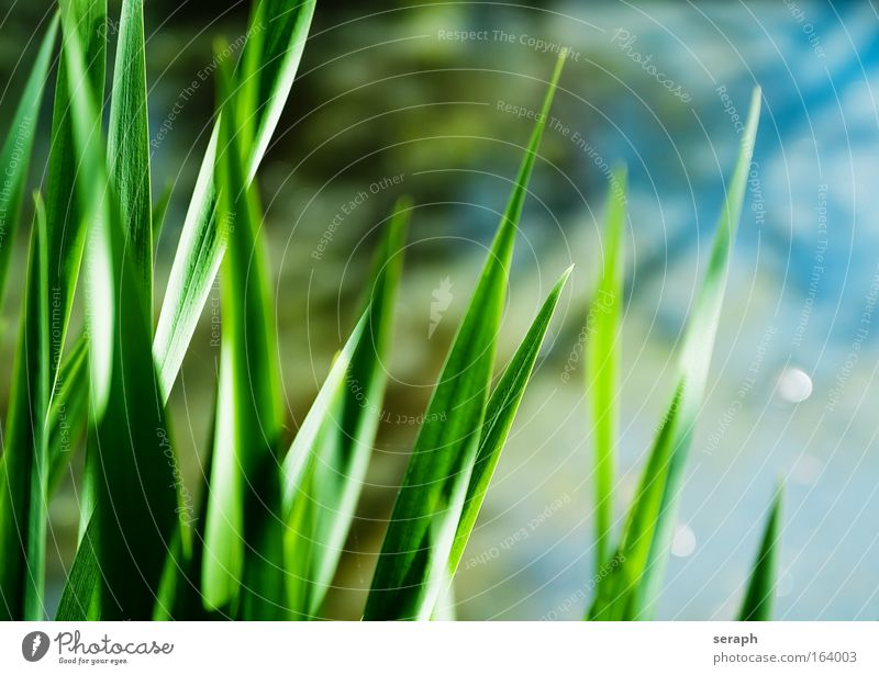 Plant Flower Meadow Blossom Grass Soft Blossoming Common Reed Biology Verdant Floral Aquatic plant Marsh plant