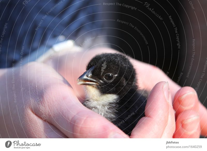protecting hands Food Nutrition Environment Nature Animal Pet Farm animal Wild animal Bird Chick Barn fowl Rooster 1 Baby animal Emotions Joy Happy Contentment
