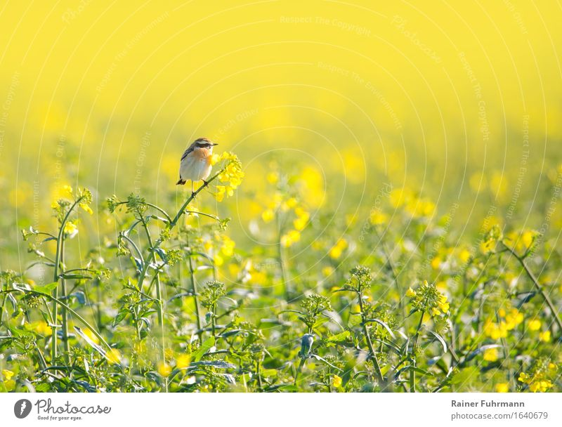 "a whinchat is sitting in a blooming rape field Environment Nature Landscape Spring Beautiful weather Warmth Field Animal Bird Whinchat 1 ""Pop Yellow"