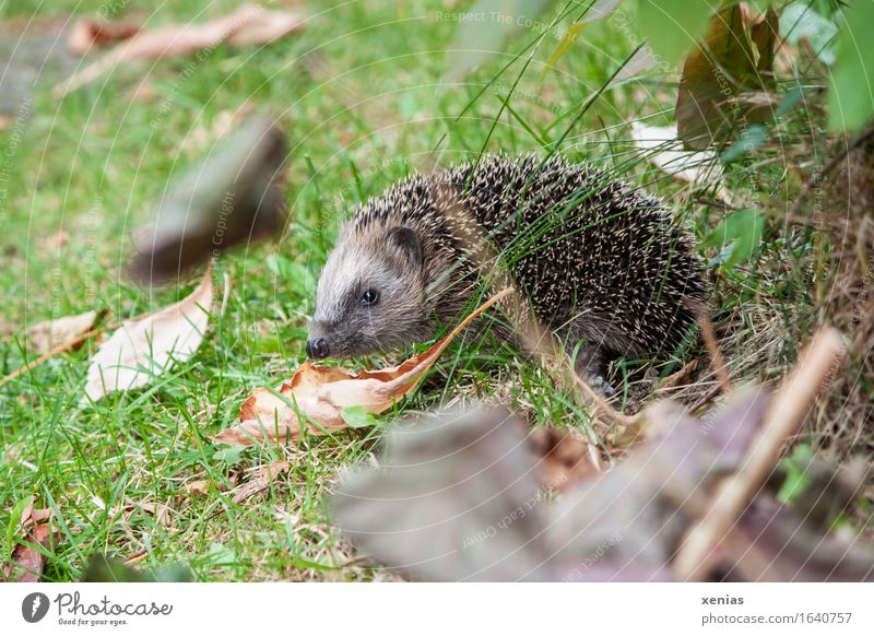 Hedgehog in the meadow insectivorous Thorn Autumn Grass Leaf Garden Park Meadow Animal 1 Thorny Brown Green Button eyes To hibernate hedgehog Full-length