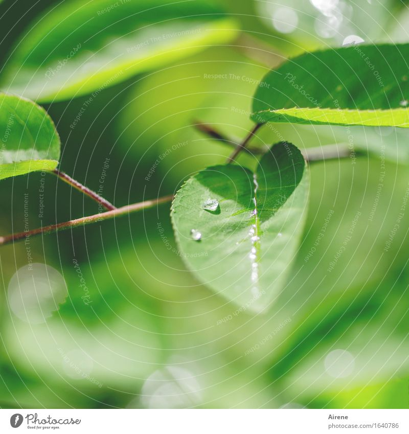 May Rain V Water Drops of water Spring Weather Plant Bushes Leaf rock pear Fresh Glittering Wet Natural Green Colour photo Exterior shot Deserted