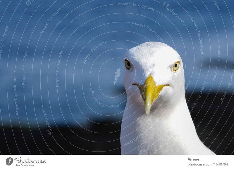 Blue White Animal Bird Head Threat Curiosity Seagull Brash Direct Maritime Gull birds