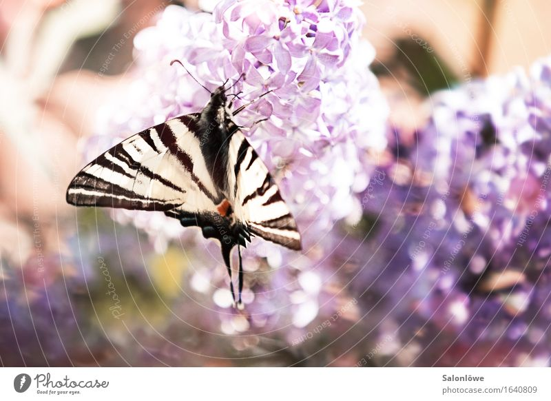 Sail butterfly meets lilac Animal Butterfly Wing 1 Flying Fragrance Violet White Environment Environmental protection Elegant Lilac Summer Beautiful