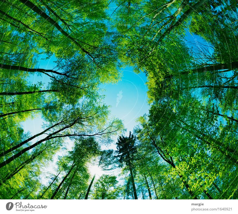 View: green tall trees form a hole to the blue sky Trip Environment Nature Sky Tree Forest Blue Green Safety (feeling of) Hope Belief Infinity Tree trunk