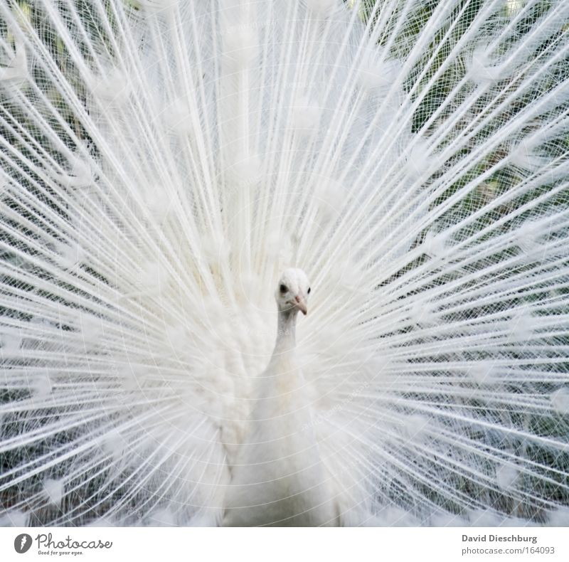 Nature White Beautiful Animal Head Bird Exceptional Esthetic Feather Wing Animal face Beak Peacock Rutting season Looking Peacock feather