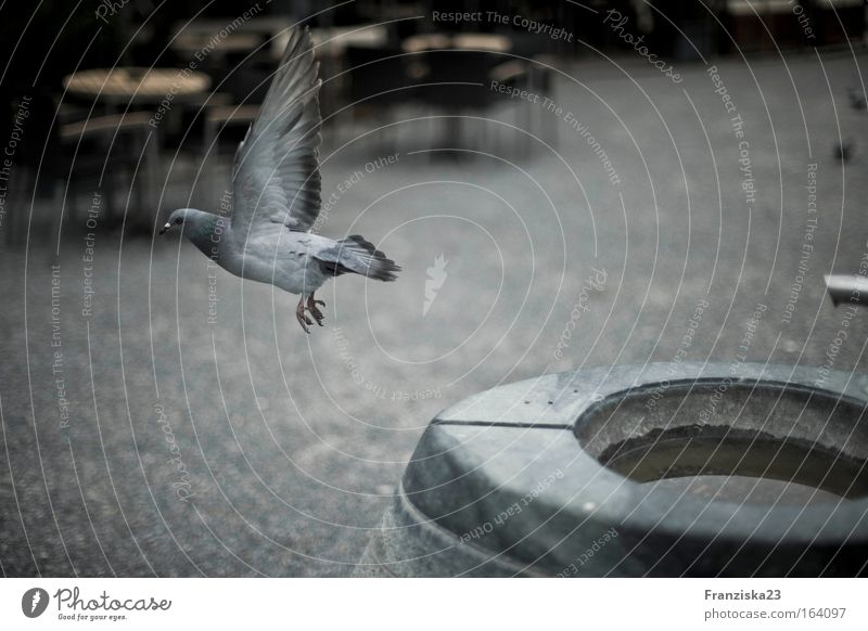 dove Colour photo Exterior shot Day Central perspective Animal Pigeon 1 Stone Water Animal tracks Flying Idyll