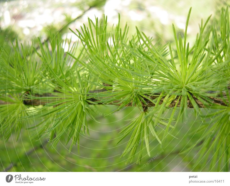 larch branch Environment Nature Plant Foliage plant Thorny Green Larch fresh green Twig Fir needle Colour photo Multicoloured Exterior shot Detail