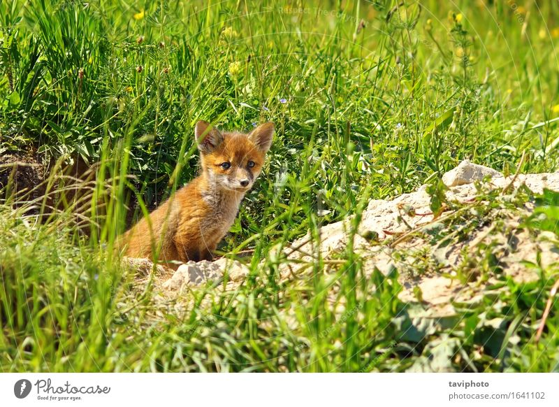 young red fox Woman Dog Nature Youth (Young adults) Beautiful Green Red Animal Forest Face Adults Baby animal Grass Family & Relations Small Brown