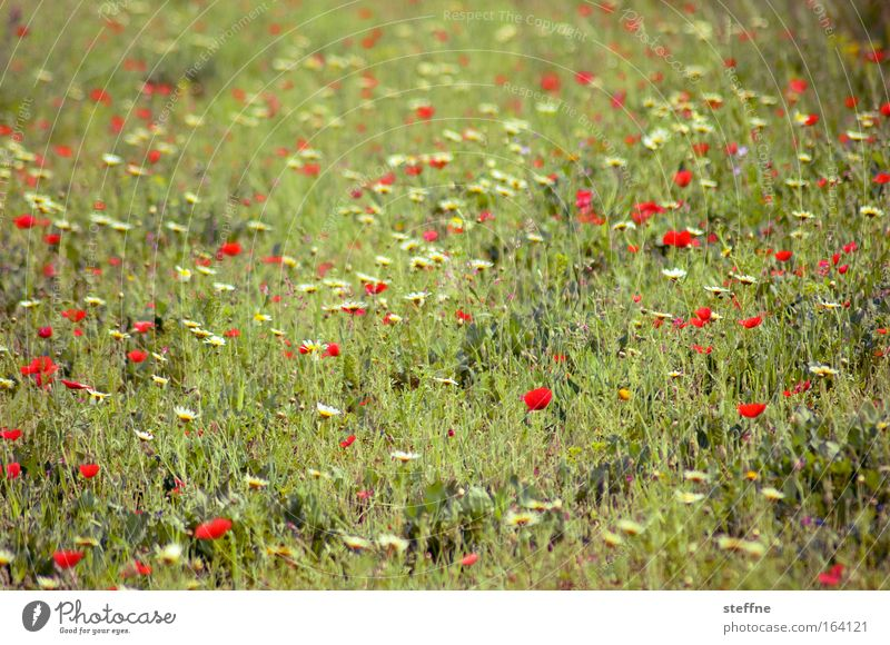 Nature Plant Meadow Grass Spring Contentment Together Happiness Romance Joie de vivre (Vitality) Poppy Beautiful weather Daisy Infatuation Enthusiasm Optimism