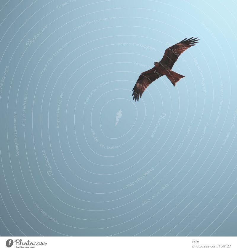 Animal Colour Freedom Happy Bird Flying Peace Hunting Cloudless sky Kite Falcon Bird of prey Hawk Goshawk