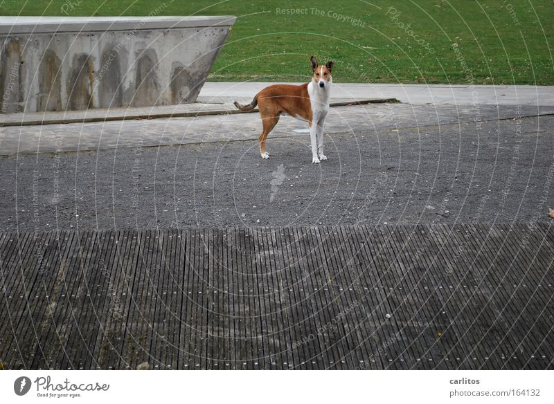 woof Colour photo Subdued colour Exterior shot Copy Space right Day Central perspective Wide angle Animal portrait Looking into the camera Grass Park Deserted