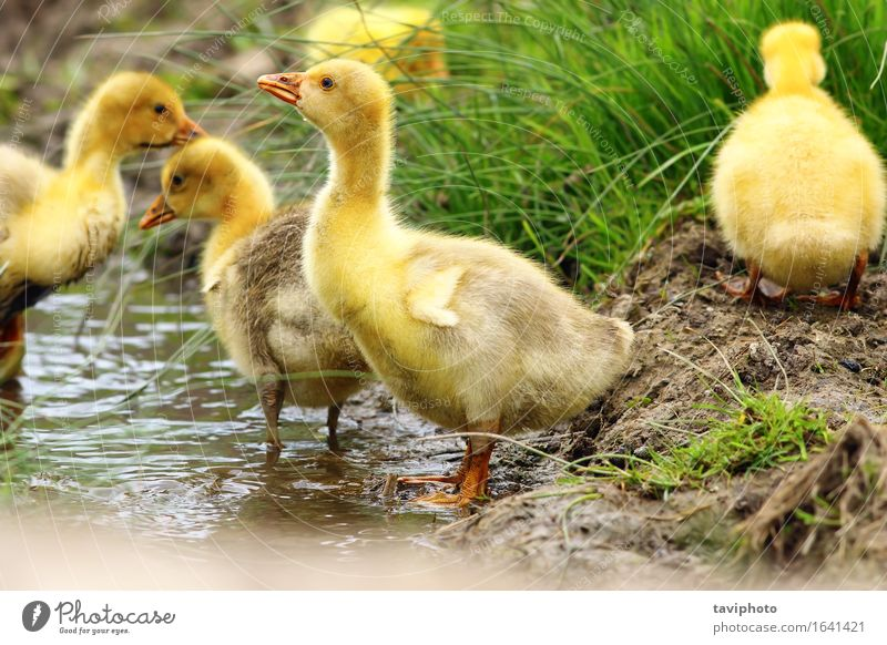 cute yellow gosling Drinking Beautiful Life Baby Nature Animal Spring Grass Pond River Bird Small Funny Cute Yellow Green Gosling geese flock young Farm