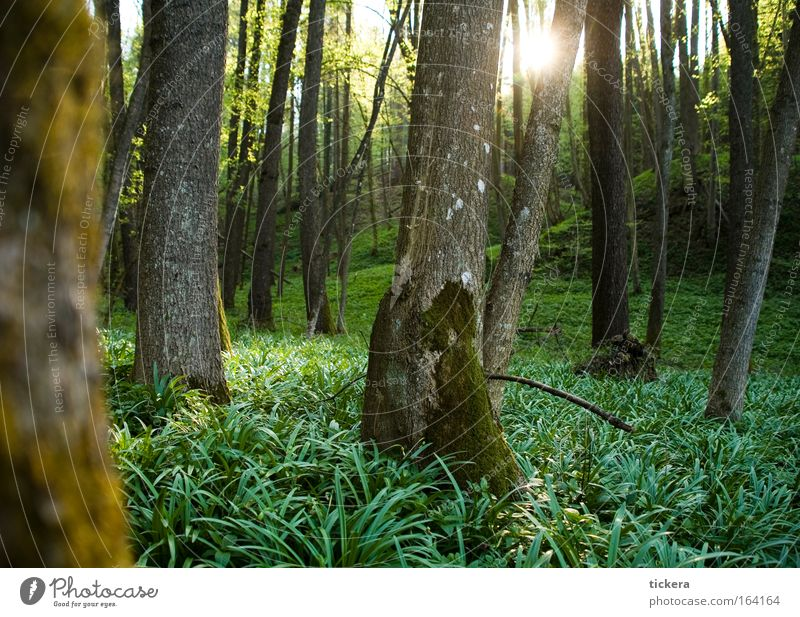 Forest in spring Colour photo Exterior shot Deserted Day Light Sunlight Sunbeam Back-light Calm Nature Landscape Plant Spring Beautiful weather Tree Grass