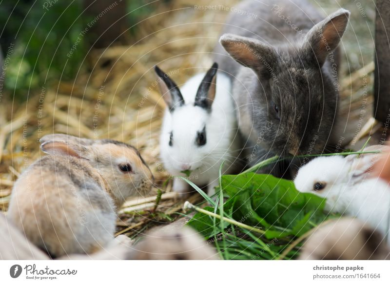 That's why there's straw Animal Pet Hare & Rabbit & Bunny Group of animals To feed Cute Love of animals Eating Barn Feeding Easter Hay Colour photo
