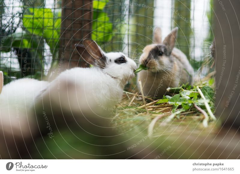 Two branch rabbits nibbling on hay in stable Animal Pet Animal face Pelt Petting zoo 2 Pair of animals To feed Cute Sympathy Friendship Together Love