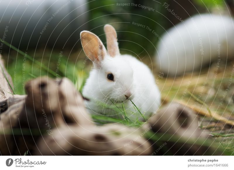 Satisfied munching Garden Plant Grass Animal Pet Animal face Pelt Hare & Rabbit & Bunny 1 2 Baby animal To enjoy Fresh Cute outdoor enclosure To feed nibble