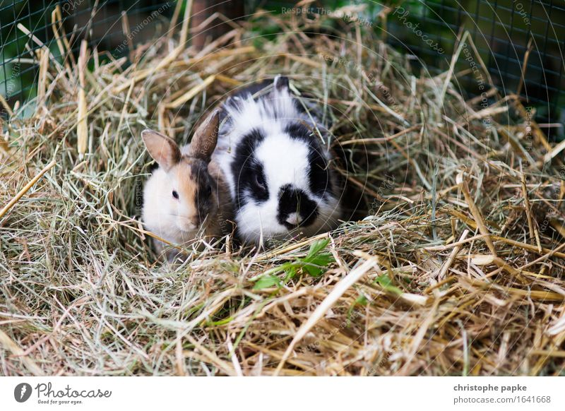 Lazy Hasi Sunday Animal Pet Animal face Pelt Zoo Petting zoo Hare & Rabbit & Bunny 2 Pair of animals Baby animal Observe Crouch Sit Cute Contentment Easter