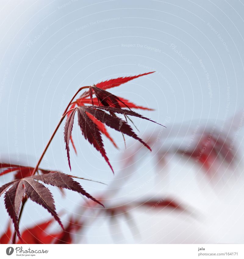 Nature Blue Plant Red Leaf Spring Bright Park Beautiful weather Cloudless sky Positive Maple tree Twigs and branches