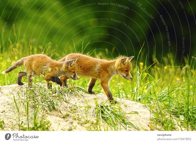 big brother fox Nature Old Beautiful Red Animal Joy Family & Relations Playing Happy Small Together Friendship Wild Infancy Baby Cute