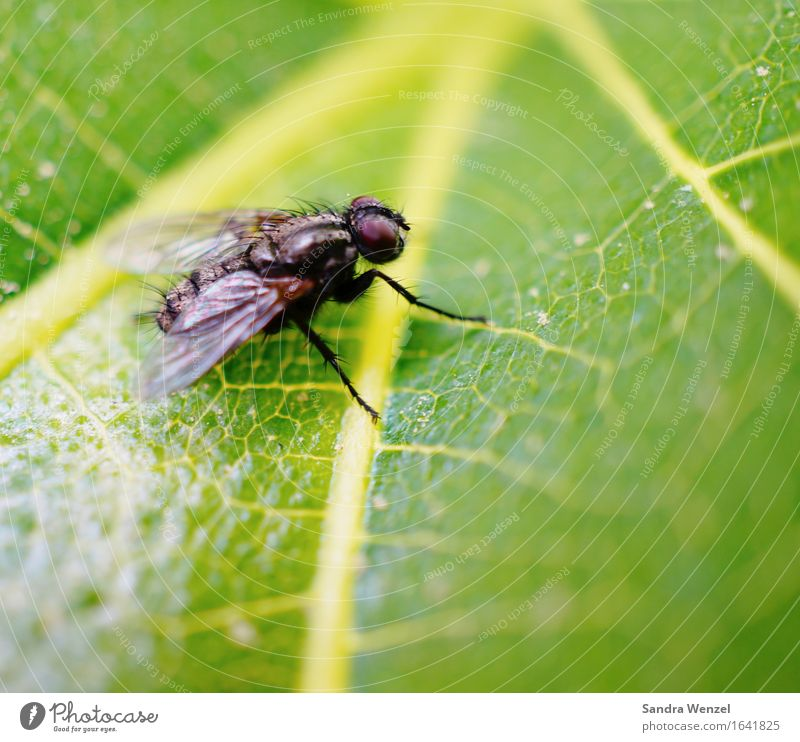 housefly Animal Fly 1 Observe Flying Survive Environment Environmental protection Insect Insect repellent Wing Leaf Leaf green Exterior shot Close-up