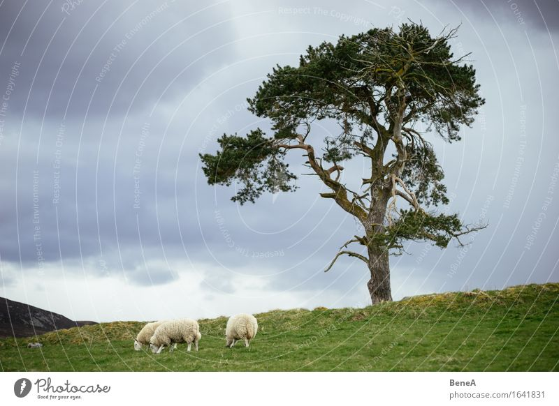 sheep Eating Agriculture Forestry Environment Nature Landscape Plant Animal Clouds Storm clouds Bad weather Tree Meadow Field Hill Scotland Deserted Farm animal
