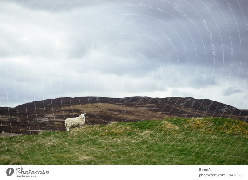 sheep Agriculture Forestry Environment Nature Landscape Plant Animal Sky Clouds Storm clouds Bad weather Grass Field Hill Scotland Deserted Farm animal Sheep 1