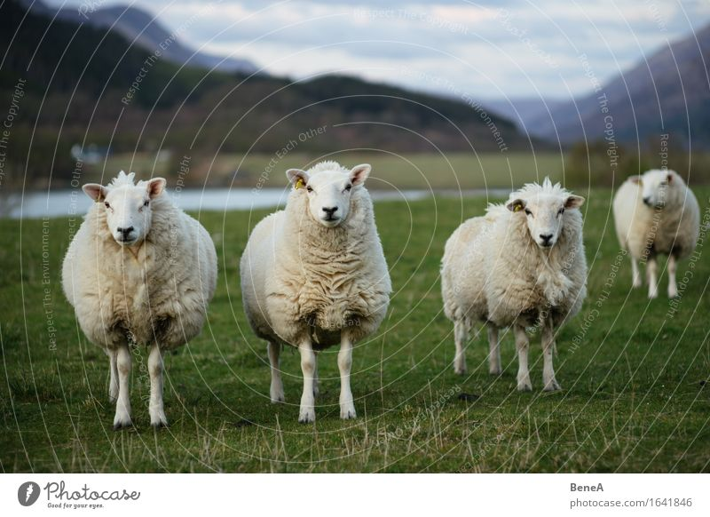 sheep Agriculture Forestry Environment Nature Landscape Plant Animal Grass Meadow Field Scotland Deserted Farm animal Sheep Flock 3 Group of animals Herd
