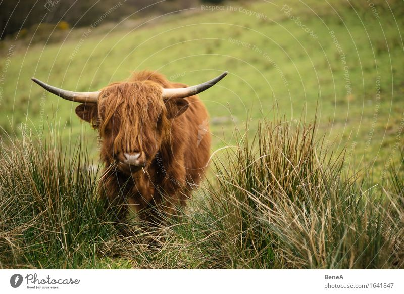moo Environment Nature Landscape Plant Animal Grass Meadow Field Hill Scotland Deserted Hair and hairstyles Farm animal Cow Highland cattle Pelt Antlers 1