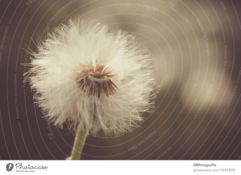 dandelion Nature Plant Flower Dandelion Romance Sadness Grief Loneliness Dreamily Seed Colour photo Exterior shot Copy Space right Day Blur