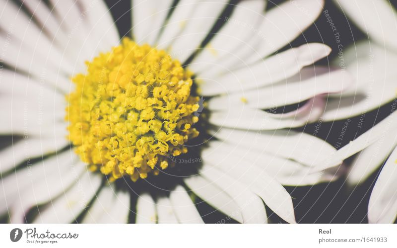 Daisy abstract Nature Plant Spring Summer Beautiful weather Flower Blossom Foliage plant Garden Park Meadow Yellow Black White Spring fever Retro Colours
