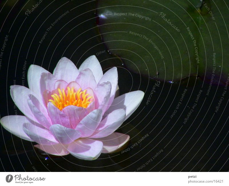 Water Leaf Yellow Blossom Pink Open Pond Aquatic plant Water lily Water lily leaf