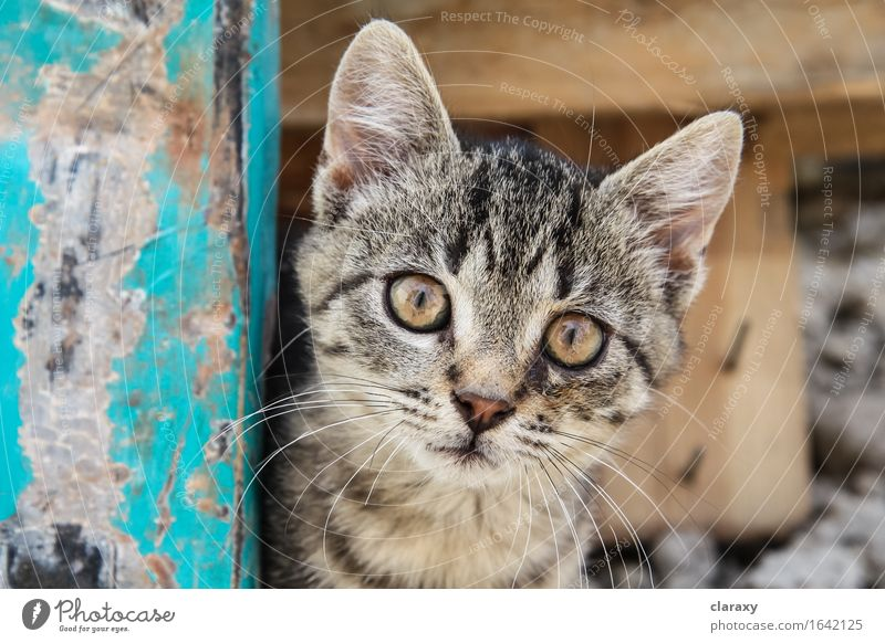 Brown eyed tabby kitten Animal Pet Cat Baby animal Wood Looking Small Cute Yellow Gold Turquoise Kitten Open Staring Striped Wide Whisker Tabby cat Colour photo