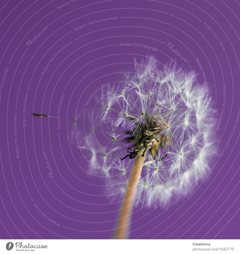 Dandelion No 1243 Nature Landscape Sky Spring Beautiful weather Plant Blossom Garden Touch Movement Blossoming Flying Faded To dry up Esthetic Violet Silver Joy