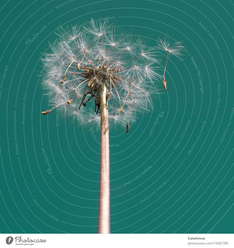 Dandelion No 1241 Nature Plant Sky Beautiful weather Wind Flower Garden Movement To dry up Growth Turquoise White Spring fever Modest Survive Change Time