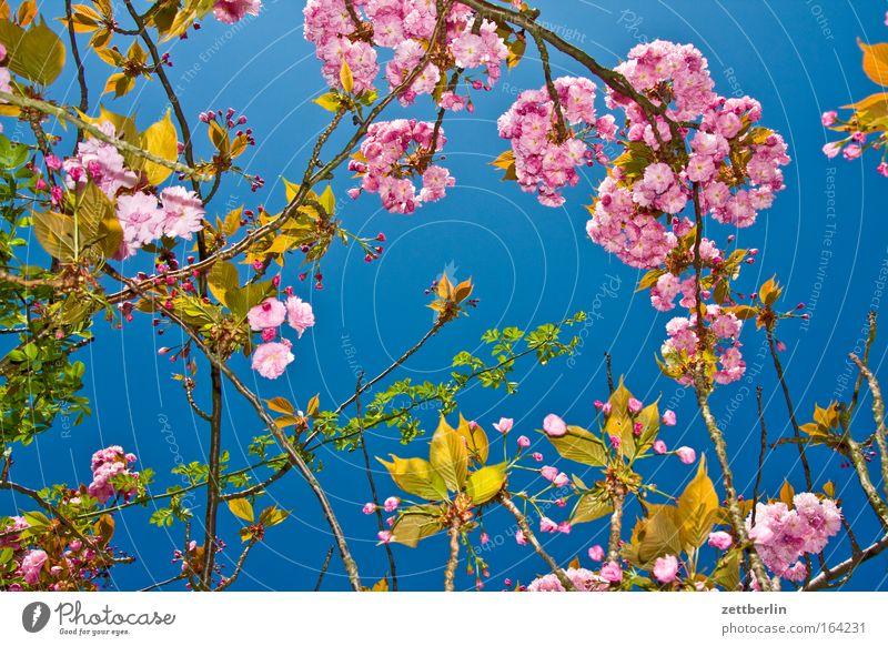 girl's photo Spring Blossom Blossoming Cherry blossom Plant Gardener Market garden Sky Fresh Blue sky Sky blue Growth Tendril Romance Spring fever Hormone