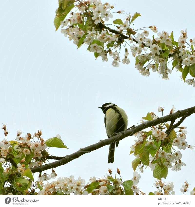 titmouse spring Environment Nature Plant Animal Sky Cloudless sky Spring Beautiful weather Blossom Agricultural crop Cherry tree Cherry blossom Wild animal Bird