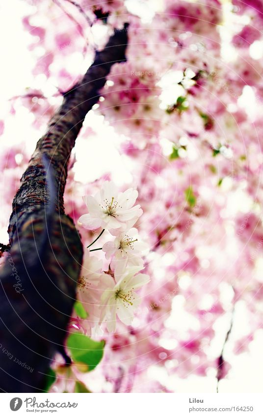 Spring is pink. SECOND Colour photo Exterior shot Deserted Day Blur Shallow depth of field Nature Plant Tree Blossom Foliage plant Agricultural crop Park Meadow