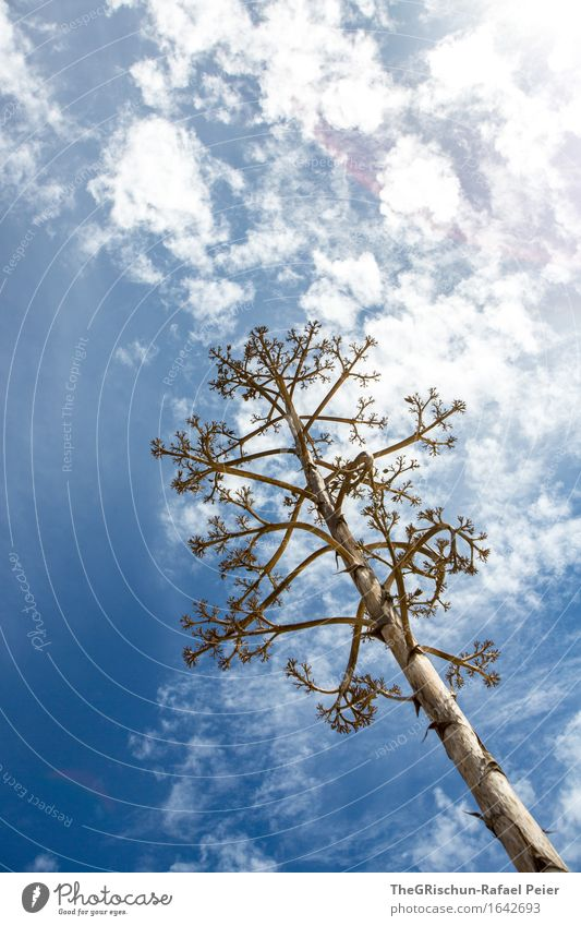 cactus tree Environment Nature Plant Air Sky Clouds Spring Blue Brown Gray White Cactus Blossoming Tree Sun Back-light Colour photo Exterior shot Deserted
