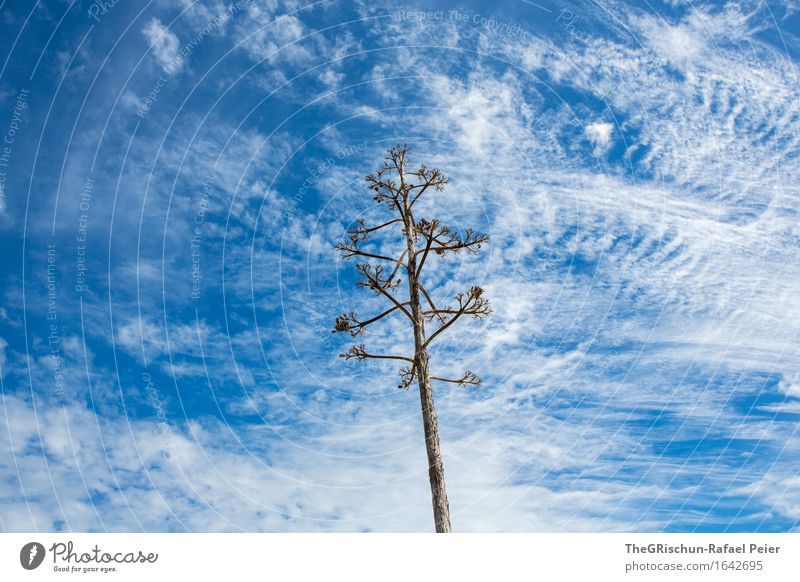 cloud patterns Environment Nature Plant Sky Clouds Blue Brown Gray White Cactus Blossoming Clouds in the sky Veil of cloud Pattern Structures and shapes Tree