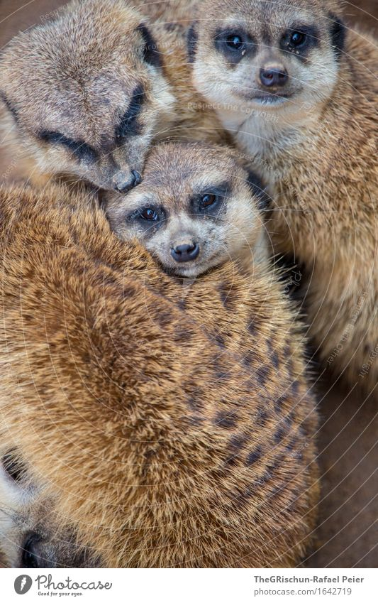 friends Animal 3 Group of animals Brown Gold Gray Black Cuddling Soft Pelt Meerkat Love tease sb. Face Nose Snout Eyes Pattern Playing Animalistic Beautiful