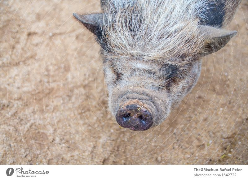 Piggy II Animal Farm animal Brown Gray Black White Bristles Snout Nose Ear Overweight Bacon Pot-bellied pig Sow Dirty Earth Gray-haired Colour photo