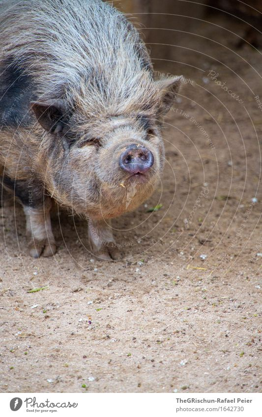 piggy Animal Farm animal Pelt 1 Brown Gray Black Silver Bristles Sow Swine Dirty Earth Overweight Fat Snout Animalistic Sincere Unathletic Pot-bellied pig Hoof