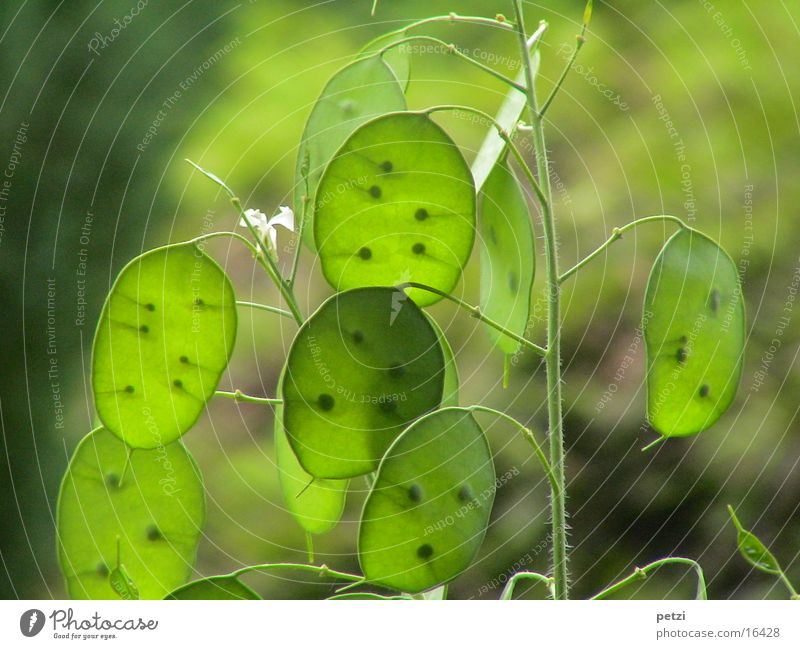 Green Plant Stalk Seed Translucent Lunaria Light green