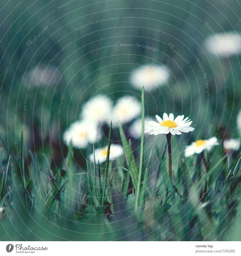 Nature White Flower Green Plant Meadow Blossom Grass Spring Environment Esthetic Daisy Marguerite Spring fever